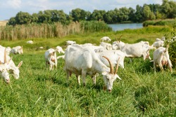 Herd of farm milk goats  on a pasture