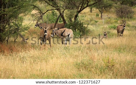 Herd of Gemsbok gazelle Kenya Africa