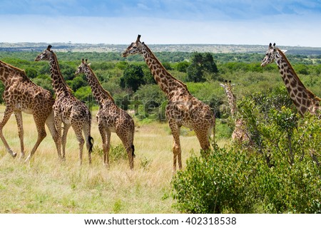 Herd of Giraffes in Masai Mara National Park Kenya