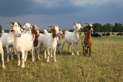 Herd of goats and flock of sheep in the Lueneburger Heath under storm clouds