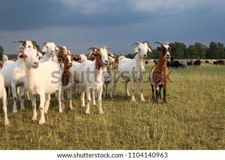 Herd of goats and flock of sheep in the Lueneburger Heath under storm clouds #1104140963