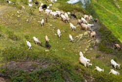 herd of goats graze in a meadow in the mountains, a shepherd and herding dogs look after the animals. Lots of goats in the wild