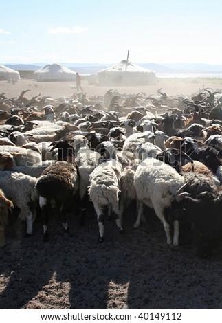 Herd of goats in front of mongolian yurt