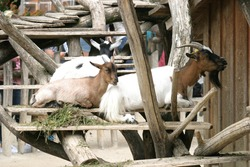 Herd of goats resting and ruminating on wooden platforms in their enclosure in a zoo