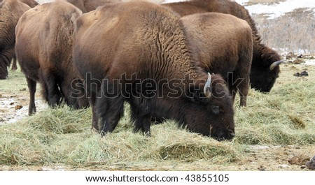 Herd of healthy American Buffalo grazing in the Rocky Mountains of Colorado