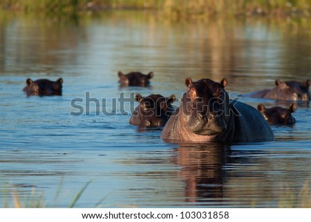 herd of hippopotamus