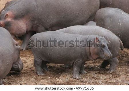 Herd of Hippos on river bank in Masai Mara National Park