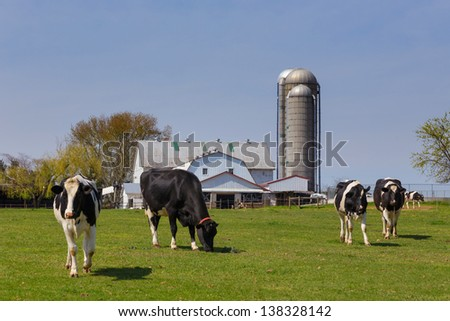 Herd of Holstein cows in pasture on an Amish farm in Lancaster County, Pennsylvania
