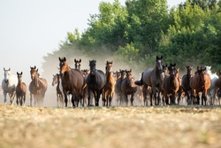 herd of horses and foals of different stripes in a fast run on a summer meadow against a background of green trees