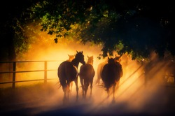 Herd of Horses Back to the Pasture in the Countryside. Herd. Evening.