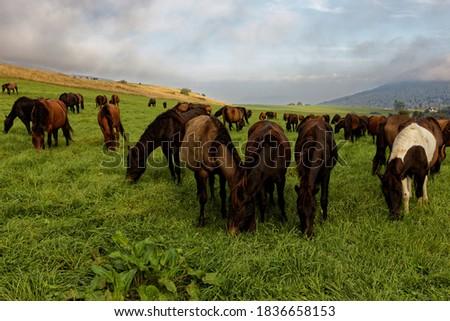 Herd of horses grazing grass on meadow pasture in wild Beskid Niski mountains area. Hucul pony breed horses. Zdjęcia stock ©