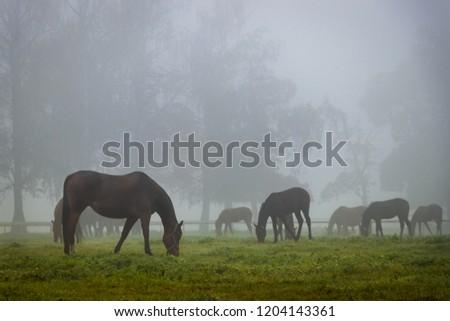 Stock Photo Herd of horses in autumn fog. Horses is grazing on pasture.
