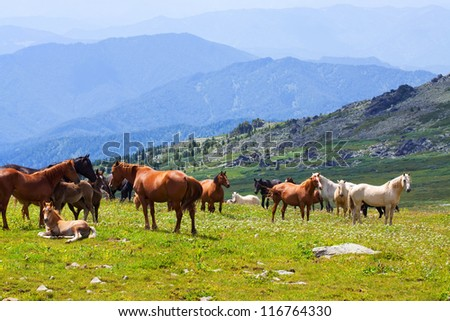herd of horses on mountains meadow