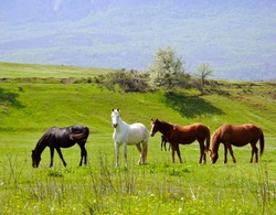 herd of horses pasture in a valley with green hill and mountain on background