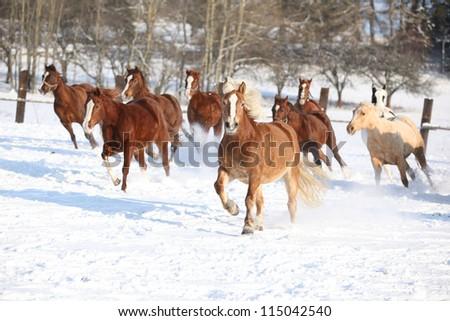 Herd of horses running in the snow