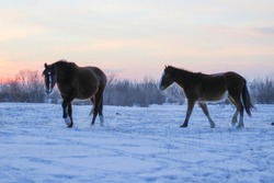 Herd of Horses Running on Winter Snow Land. Beautiful Bane, Chestnut, Gray Mare and Stallion with Fluffy Fur Mane and Tails