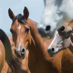 Herd of horses running outdoor, Arabian horses.