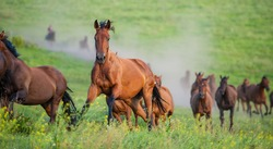 herd of horses runs through the meadow. English breed of horses. Ukraine. Europe.