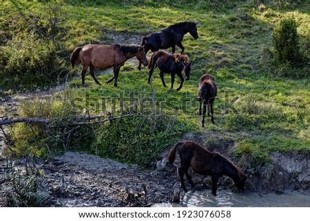 Herd of Hucul pony horses standing in front of water stream in Beskid Niski mountains area in Poland, Europe.  Zdjęcia stock ©