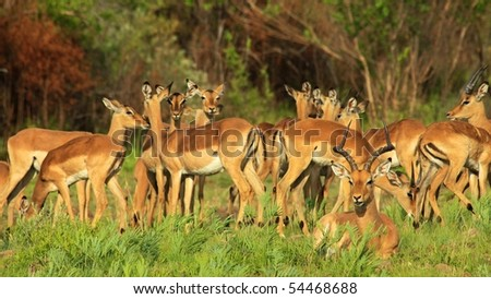 Herd of impala feeding in African National Park