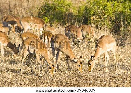 Herd of Impala grazing in the bushes