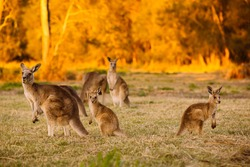 Herd of kangaroos at twilight (Coombabah Lake, QLD, Australia)