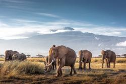 Herd of large African elephants walking in front of Mount Kilimanjaro in Amboseli, Kenya Africa