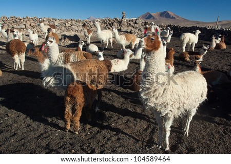 Herd of many andean lamas