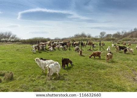 Herd of many goats in green countryside under blue sky, on shinny day.
