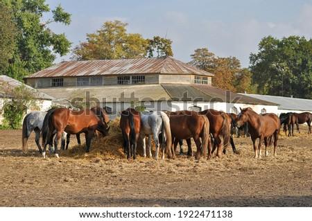 Herd of mares eating straw near the stable on an autumn day. Dubrovsky stud farm, Poltava region, Ukraine Photo stock ©
