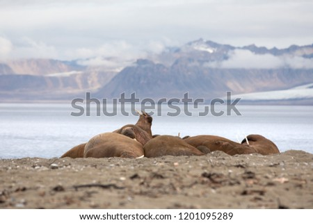 Herd of massive male walruses lounging on the beach in Isfjorden, Svalbard. #1201095289