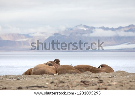 Herd of massive male walruses lounging on the beach in Isfjorden, Svalbard. #1201095295