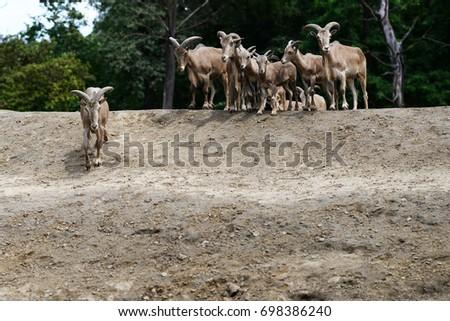 herd of mouflons Zdjęcia stock ©