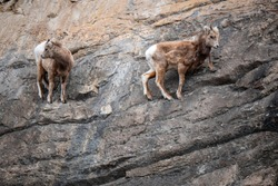 Herd of Mountain Goats on a Cliff