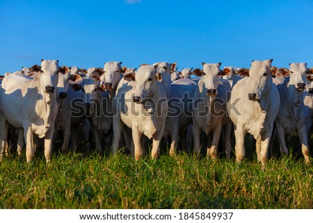 Herd of Nellore cattle grazing, selected animals looking at camera, Brazilian livestock