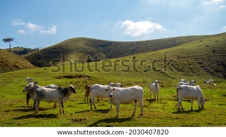 Herd of Nelore cattle being bred for fattening. Brazil's livestock and economy. Stock fotó ©