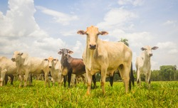 Herd of Nelore cattle from Brazil in the pasture of the farm. Concept of livestock, beef cattle