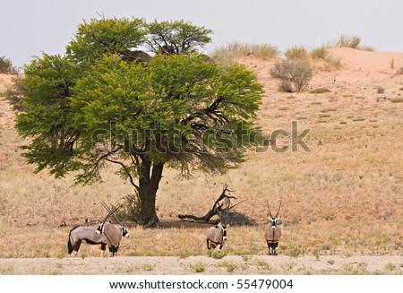 Herd of oryx (gemsbok) under a camelthorn acacia tree in the Kalahari desert, Africa - stock photo
