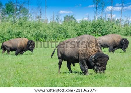 Herd of plains bison from Elk Island National Park in Alberta, Canada