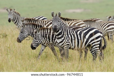 Herd of Plains Zebra (Equus quagga) in Kenya's Masai Mara Reserve