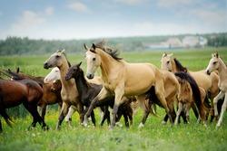 herd of purebred akhalteke horses in summer