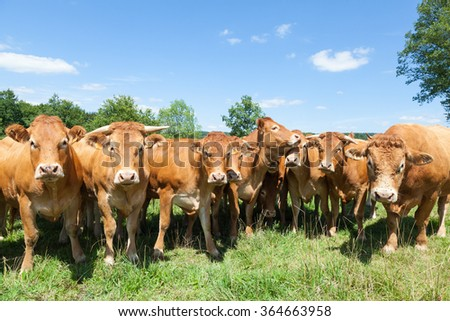 Herd of red brown Limousin beef cattle with cows and a  bull standing in a line staring inquisitively at the camera in a lush green pasture with blue sky in a close up view