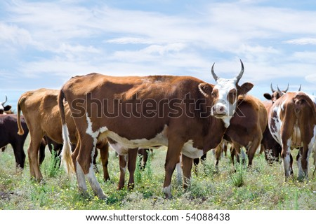 herd of red cows at summer flower meadow