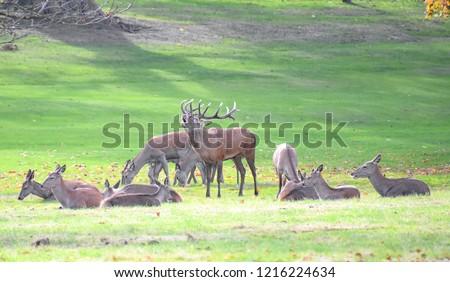 Herd of red deer during the rutting season