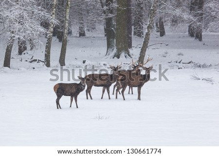 herd of red deer on a snowy meadow behind the winter forest during snowfall