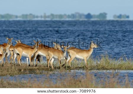 Herd of red lechwe antelopes (Kobus leche), Chobe National Park, Botswana