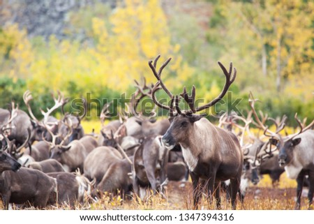 Herd of reindeer in the tundra in autumn . In the foreground a beautiful deer full face. Kamchatka. Russia