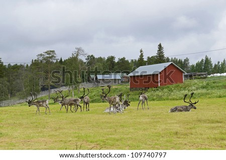 Herd of reindeer. Posio, northern Finland