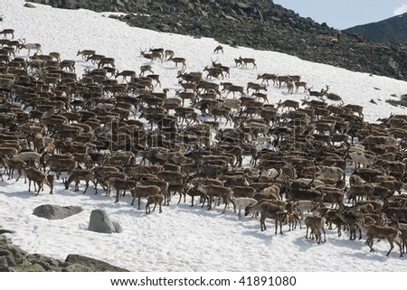 Herd of reindeers pasturing on a snow patch in Ural mountains