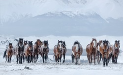 Herd Of Running Free Grazing Unsuited ( Bay, Sorrel ) Mongolian Horses With Fluttering Manes And Tails.Frost On The Skin.Frozen Red Horses With Hoarfrost Wool. Mountain Landscape With Brown Stallions